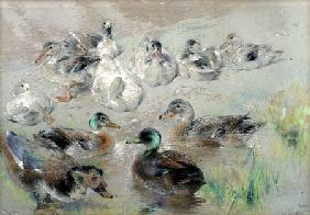 Study of Ducks